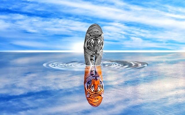 Tiger spiegelt sich im Wasser - Das Spiegelgesetz.